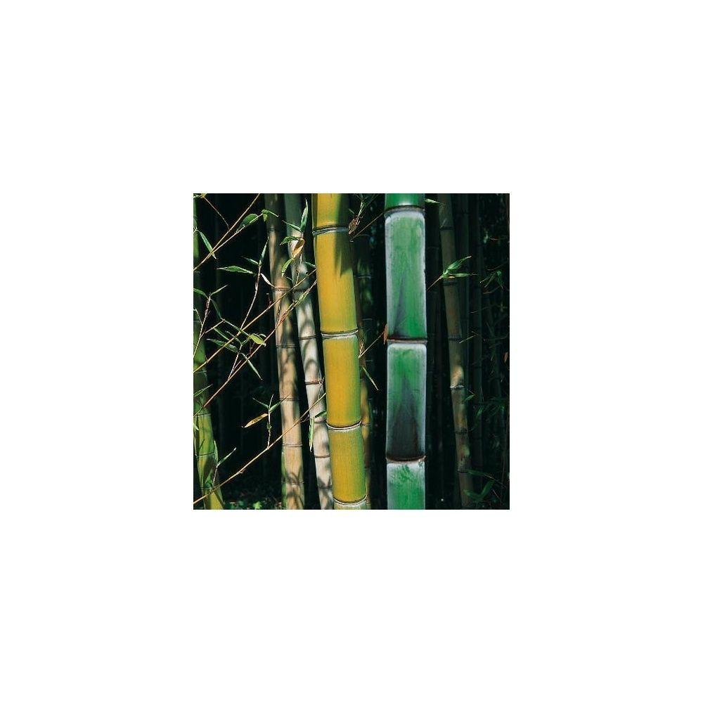 Bambou géant : Phyllostachys viridiglaucescens