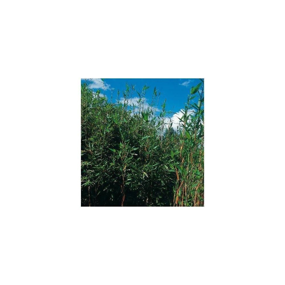 Bambou moyen : Semiarundinaria 'Okuboï'