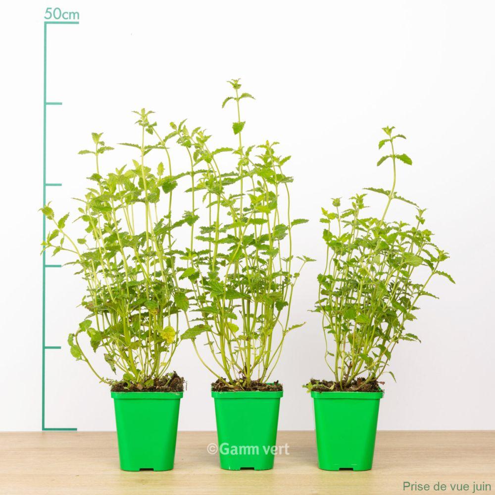 Planter Menthe En Pot menthe fraise