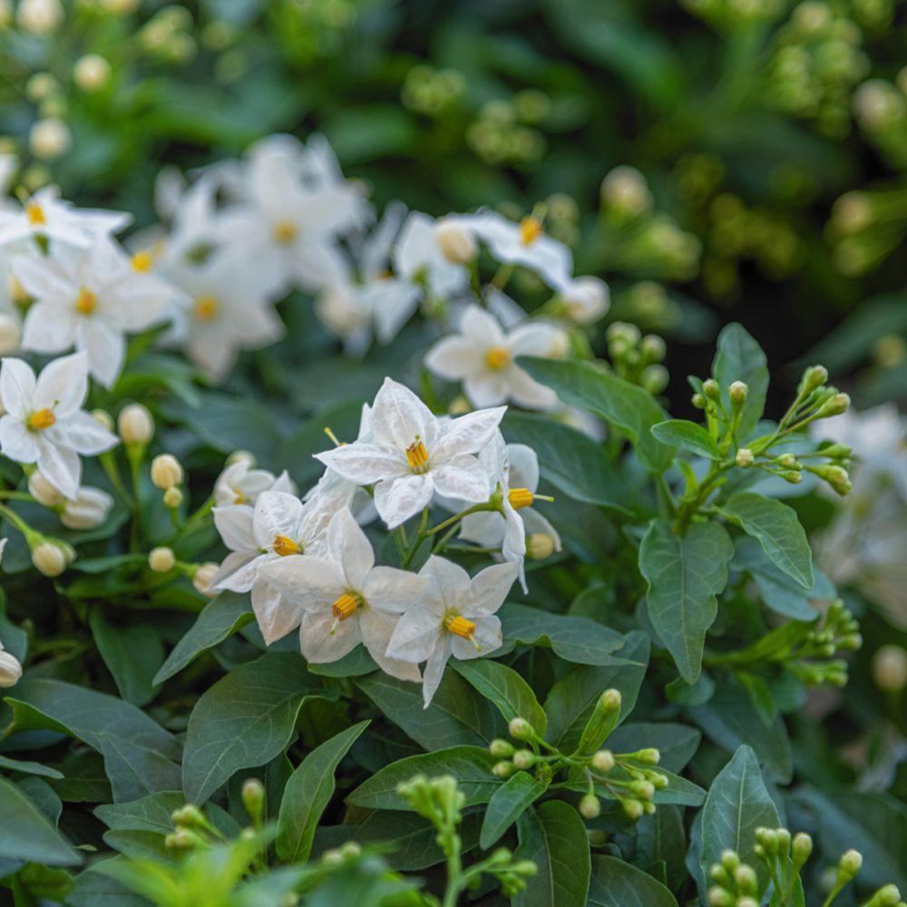 Solanum jasminoïdes Album