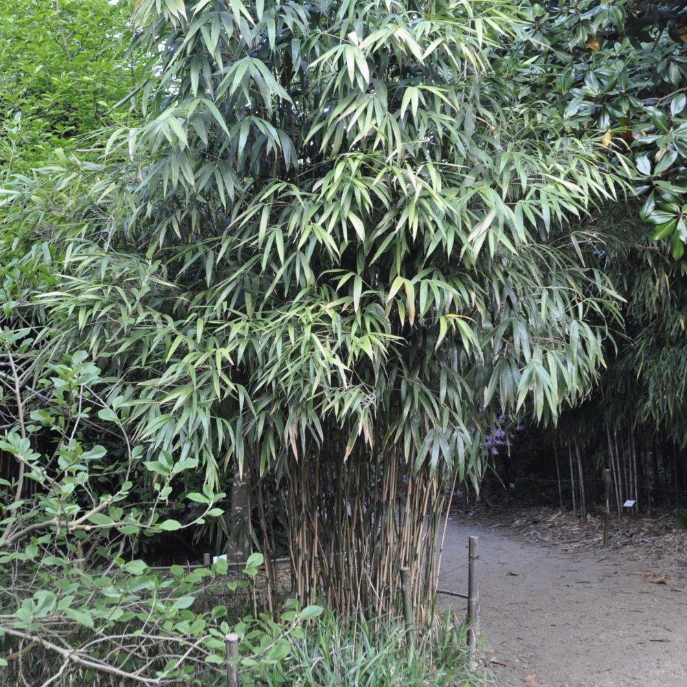 bambou moyen : pseudosasa japonica pot de 3 litres, hauteur 40/80 cm