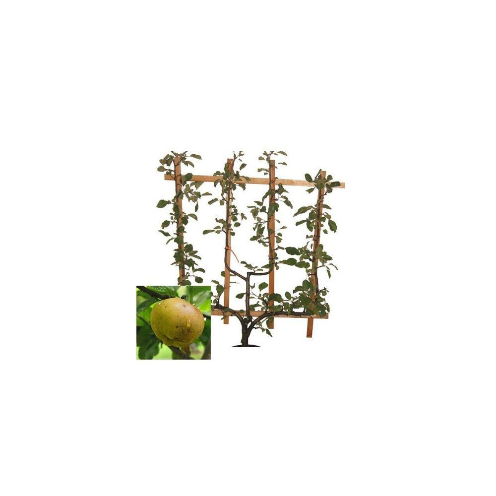 Pommier 'Calville Blanc': taille en palmette verrier en pot