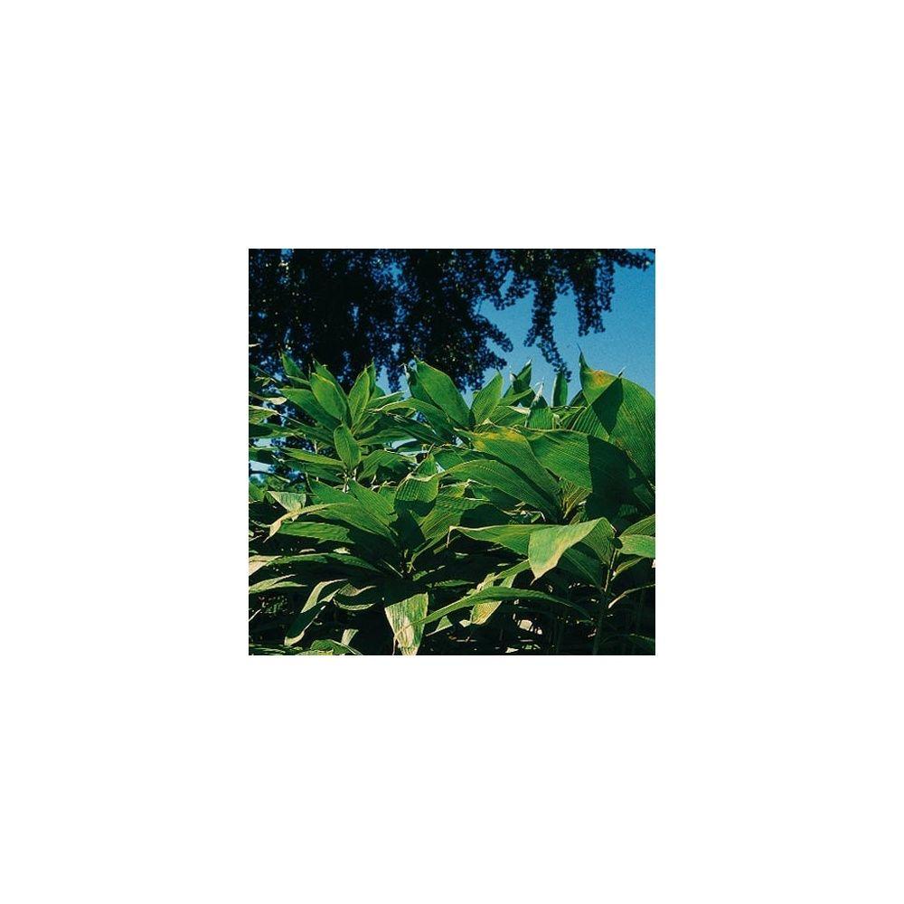 Petit Bambou : Sasa palmata 'Nebulosa'