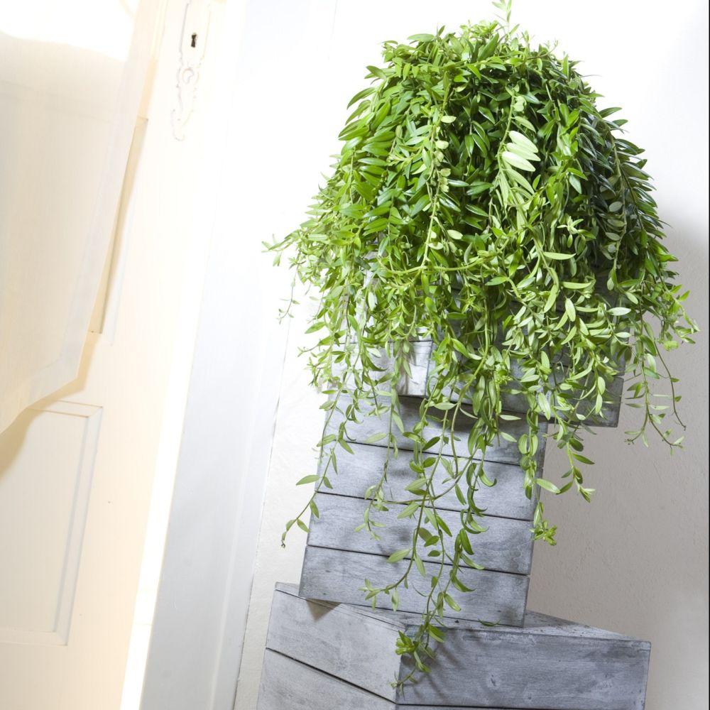 Suspension Pour Plantes D Intérieur aeschynanthus japhrolepis