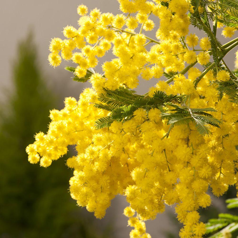 Arbuste Pour Terrain Calcaire mimosa 'le gaulois' greffé pour sol calcaire