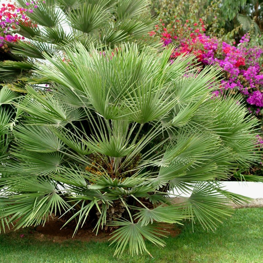 palmier nain chamaerops humilis pot de 15 litres. Black Bedroom Furniture Sets. Home Design Ideas
