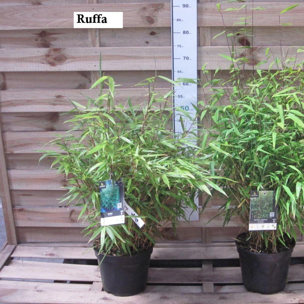 bambou non tra ant fargesia rufa pot de 5 litres gamm vert