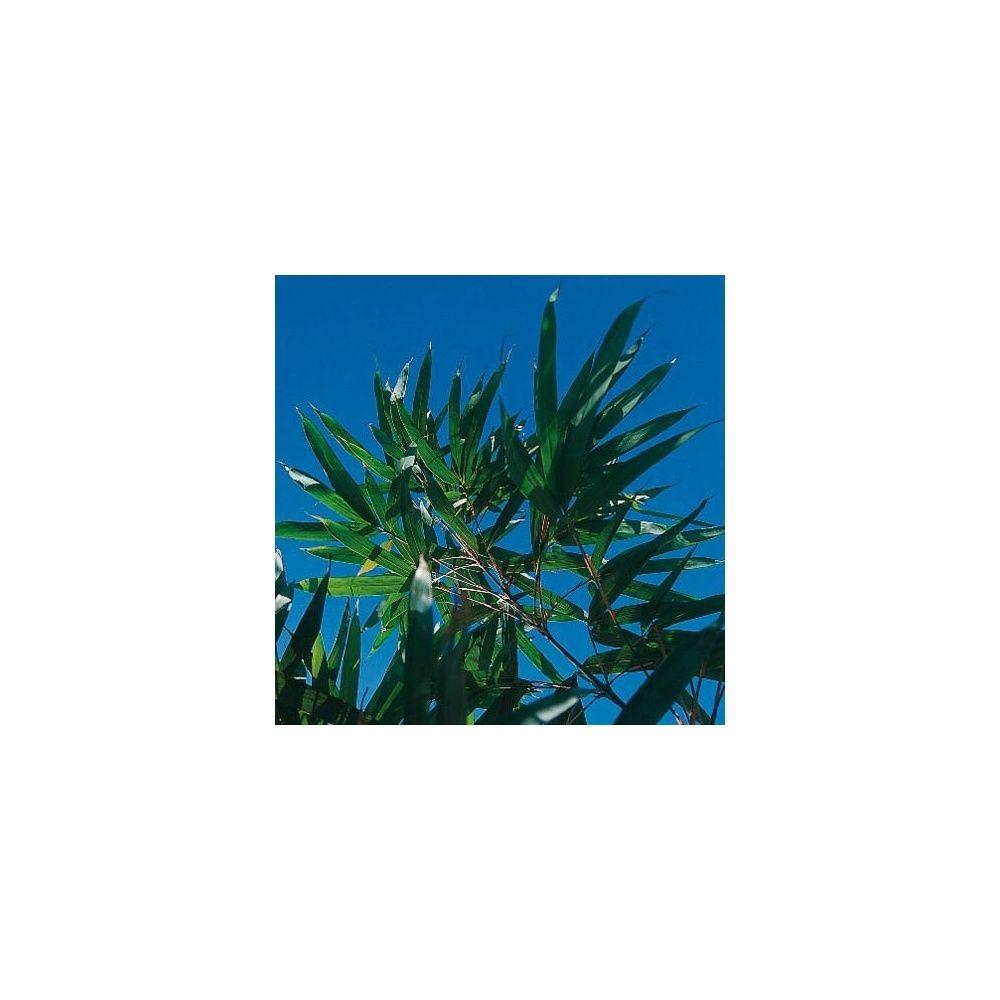 Bambou moyen: Pseudosasa amabilis 'Tenuis'