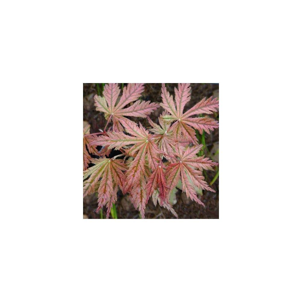 Erable du Japon 'Reticulatum Red'