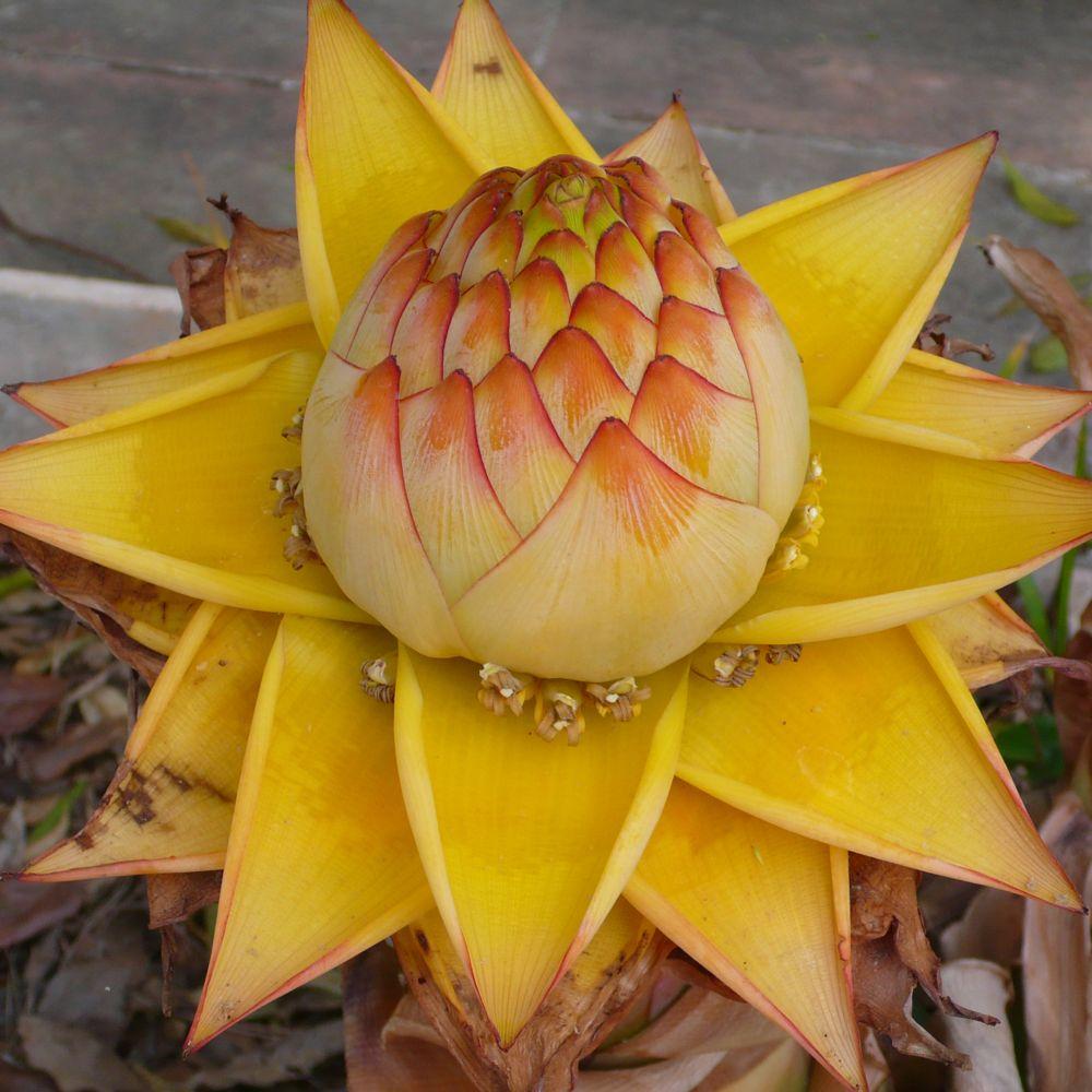 Bananier Lotus d'Or - Bananier nain