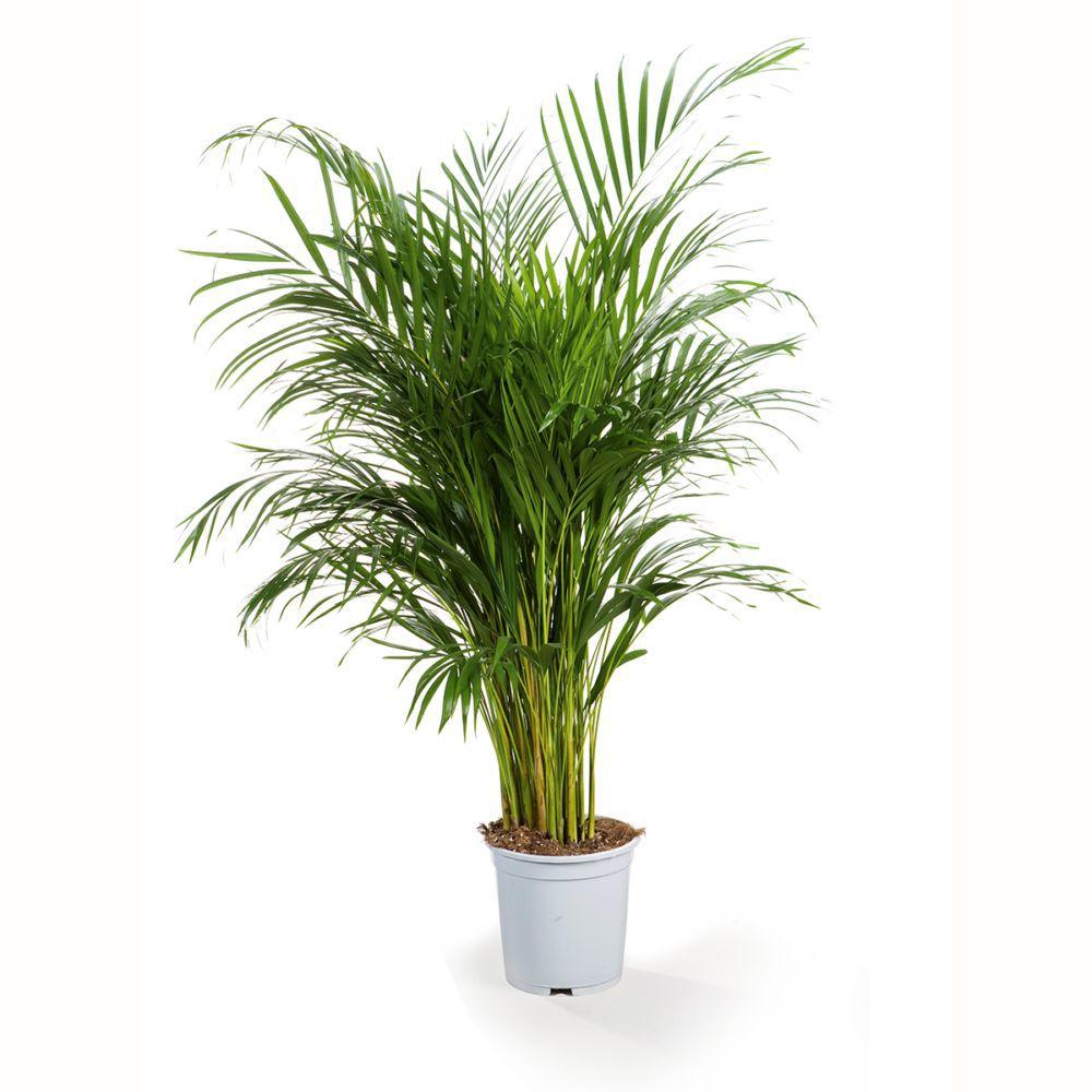 Palmier Areca - Dypsis Lutescens (H.150cm)
