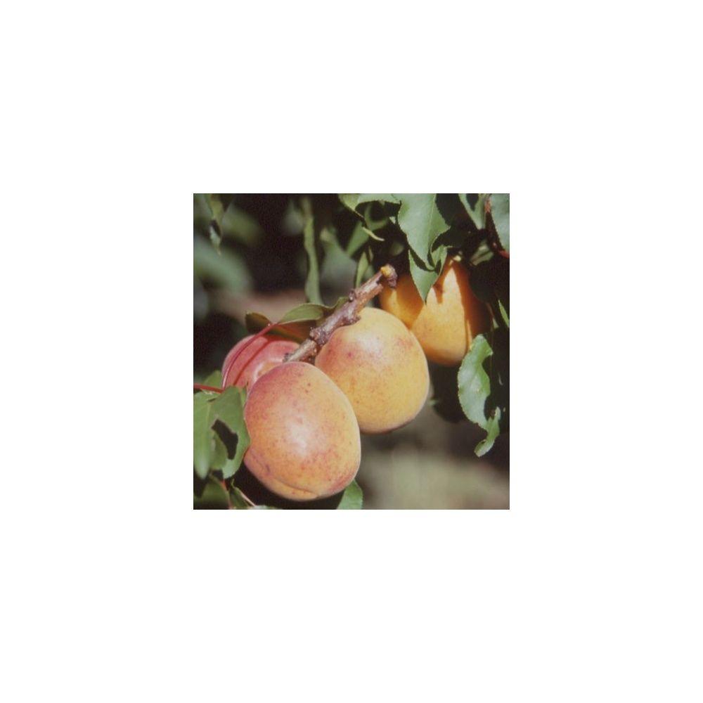 Abricotier 'Luizet' : taille en quenouille, pot de 10 L
