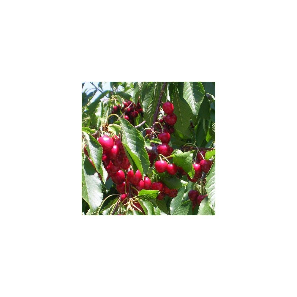 Cerisier 'Bigarreau Marmotte': taille en quenouille, pot de 10 L