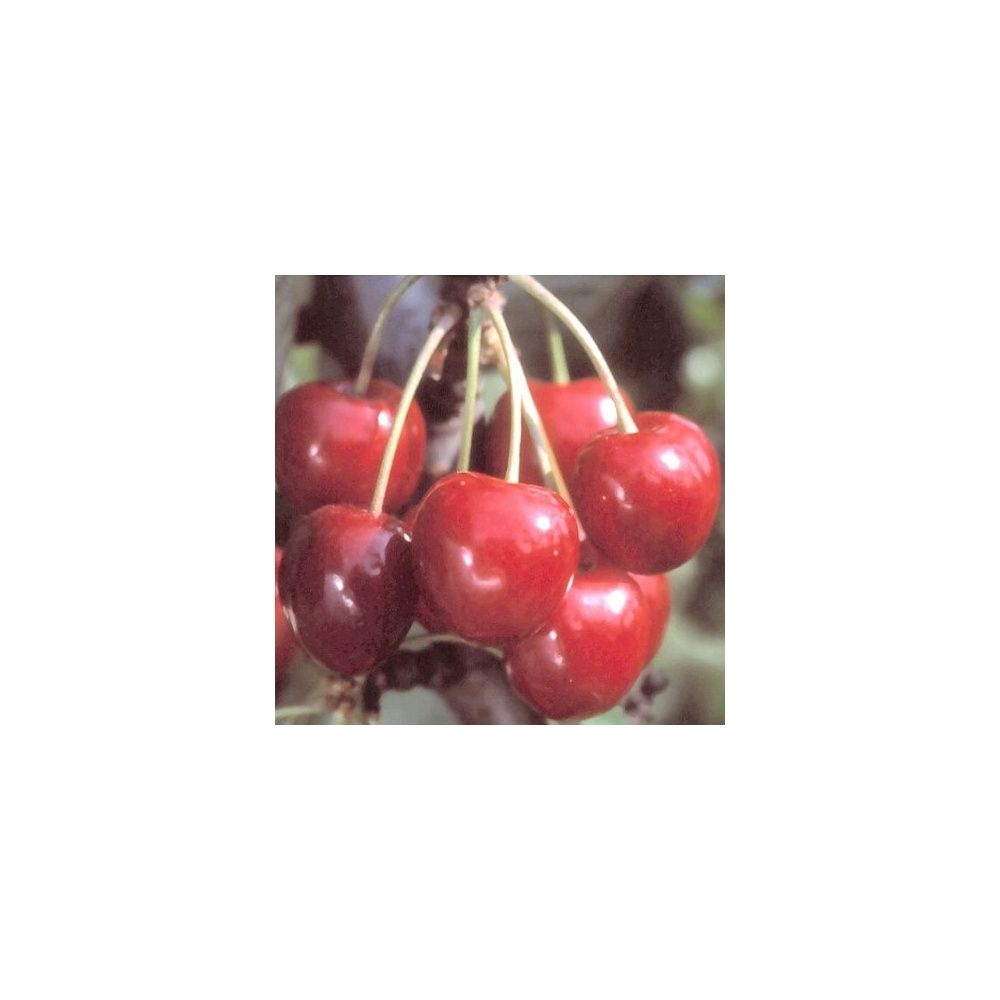 Cerisier 'Reverchon' : taille en quenouille, pot de 10 L