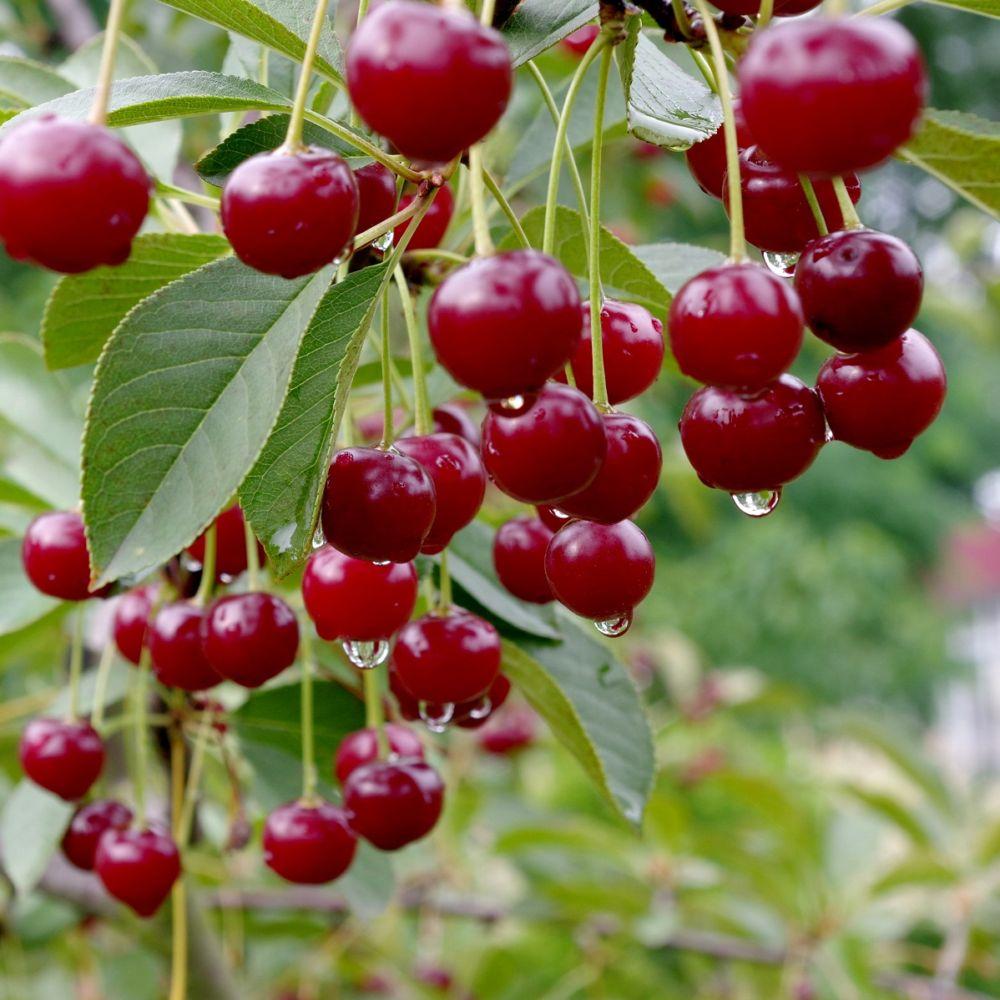 Cerisier Bigarreau Van : taille demi-tige, pot de 12 L