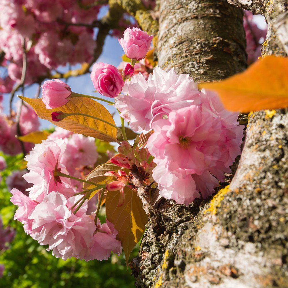 Hauteur Cerisier Du Japon cerisier du japon 'kanzan'