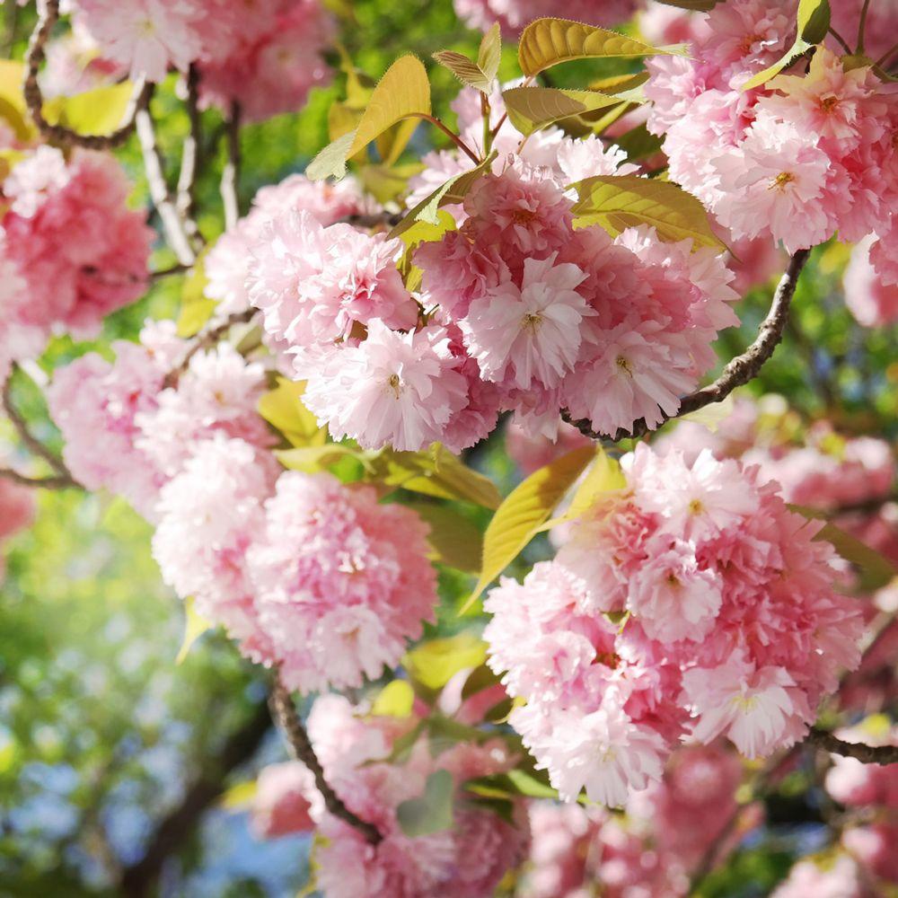 Cerisier à fleurs du Japon 'Kanzan'