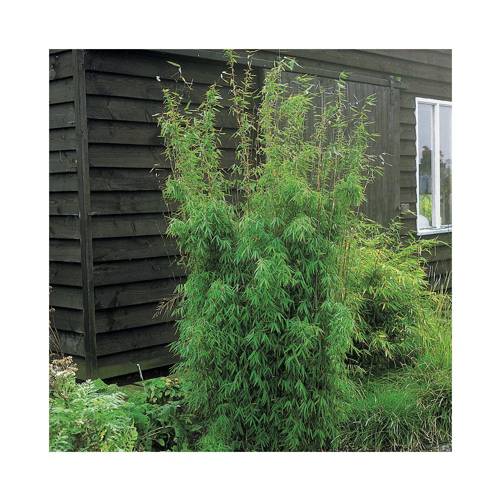 Petit bambou : Fargesia jiuzhaigou