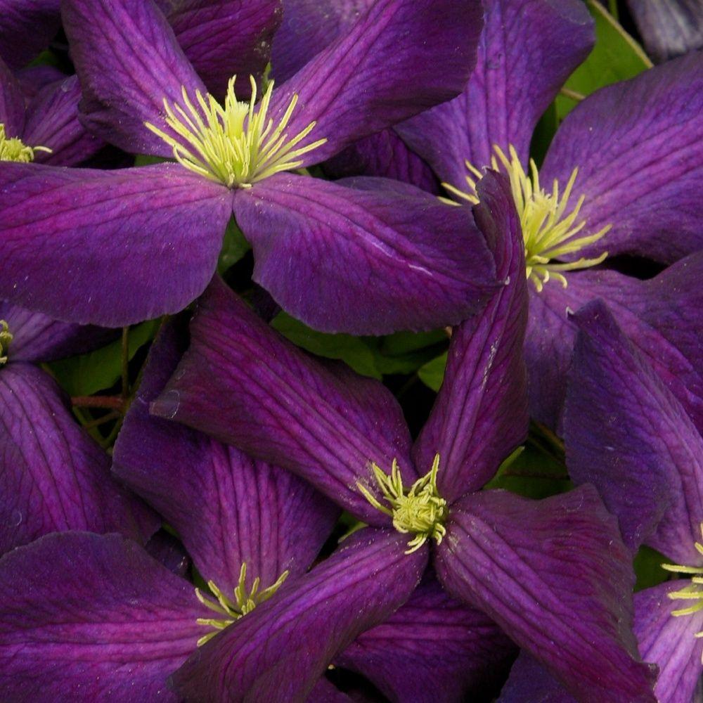 Clématite 'Jackmani purpurea'®