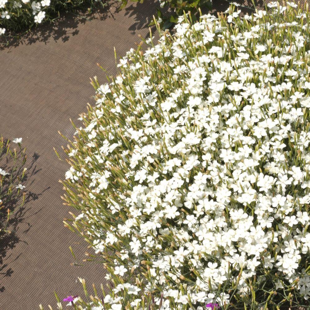 Dianthus deltoides albus