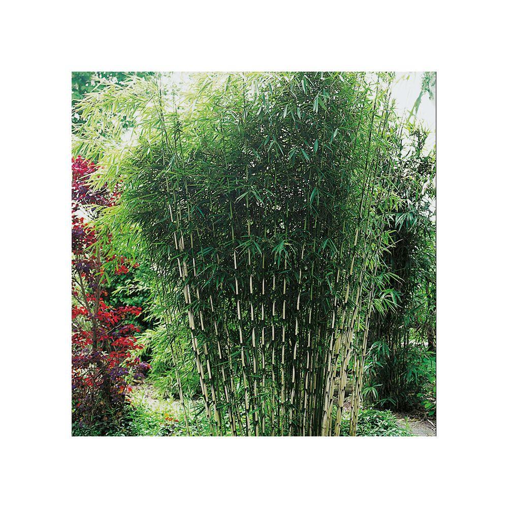 petit bambou : fargesia robusta pot de 10 litres, hauteur 80/100 cm