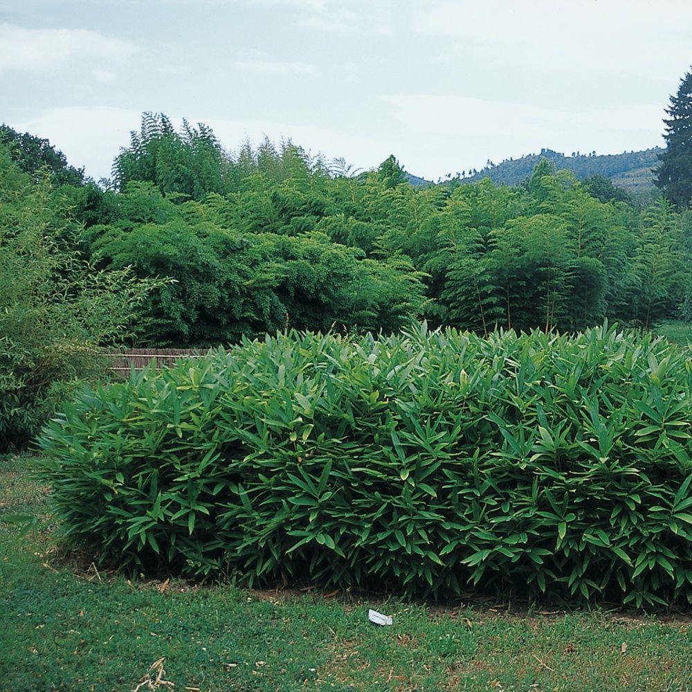 Contour De Balcon En Bambou petit bambou : sasa tsuboiana