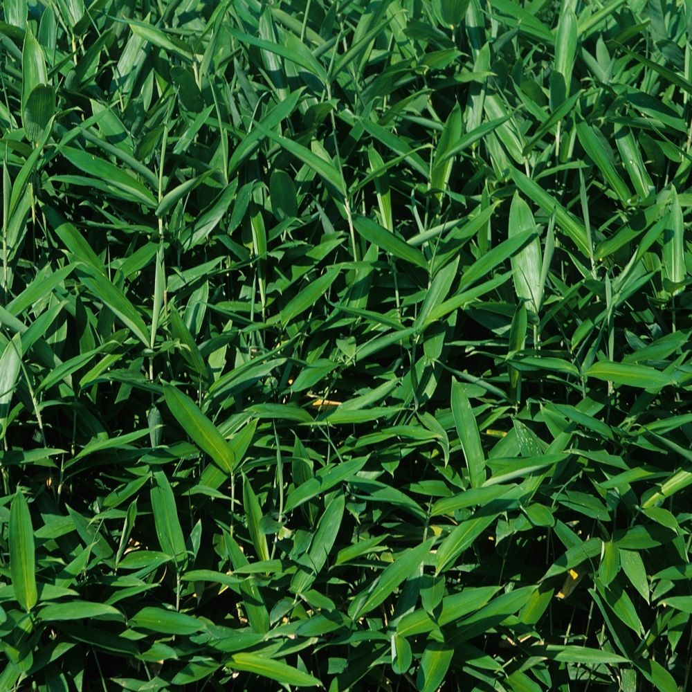 Petit bambou : Sasa tsuboiana