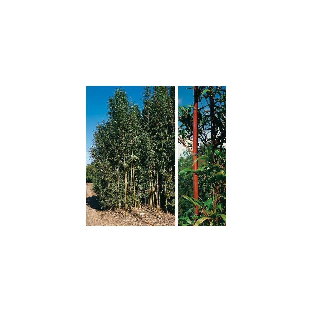 Bambou moyen : Semiarundinaria fastuosa