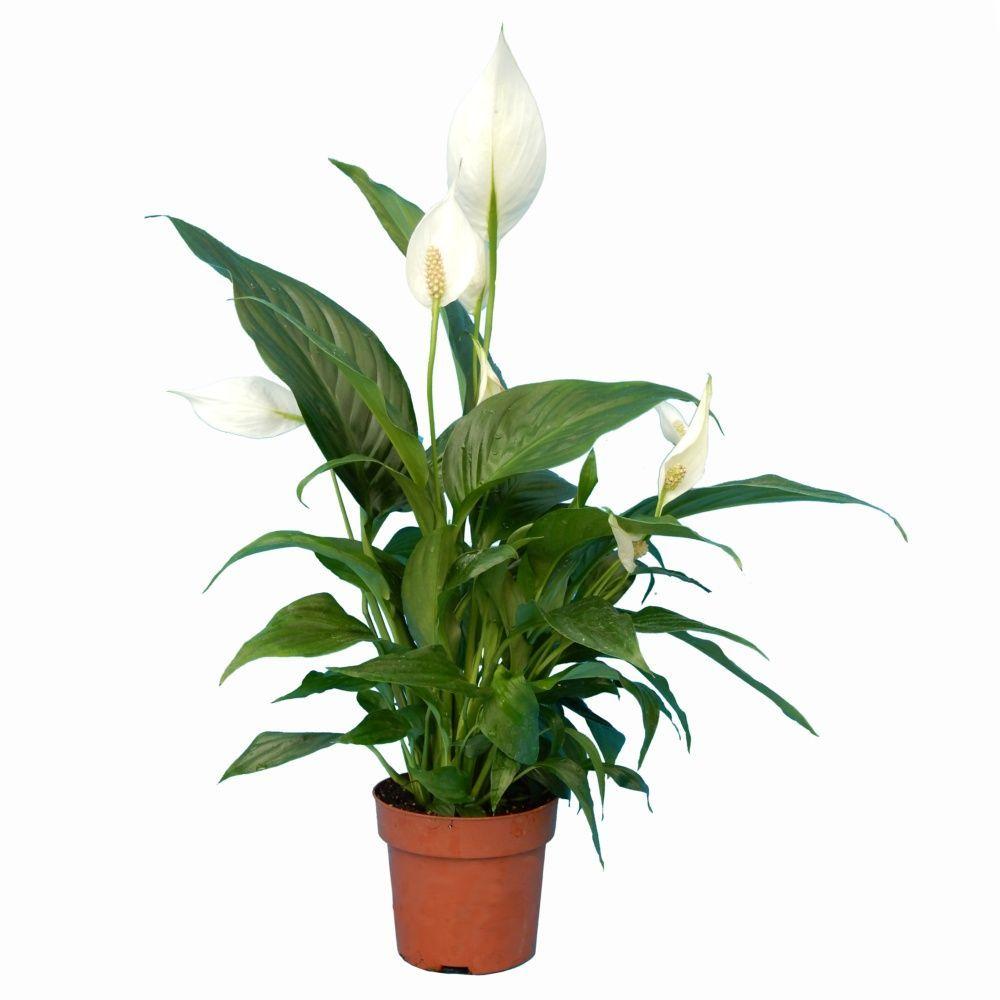 Spathiphyllum 55/60 cm