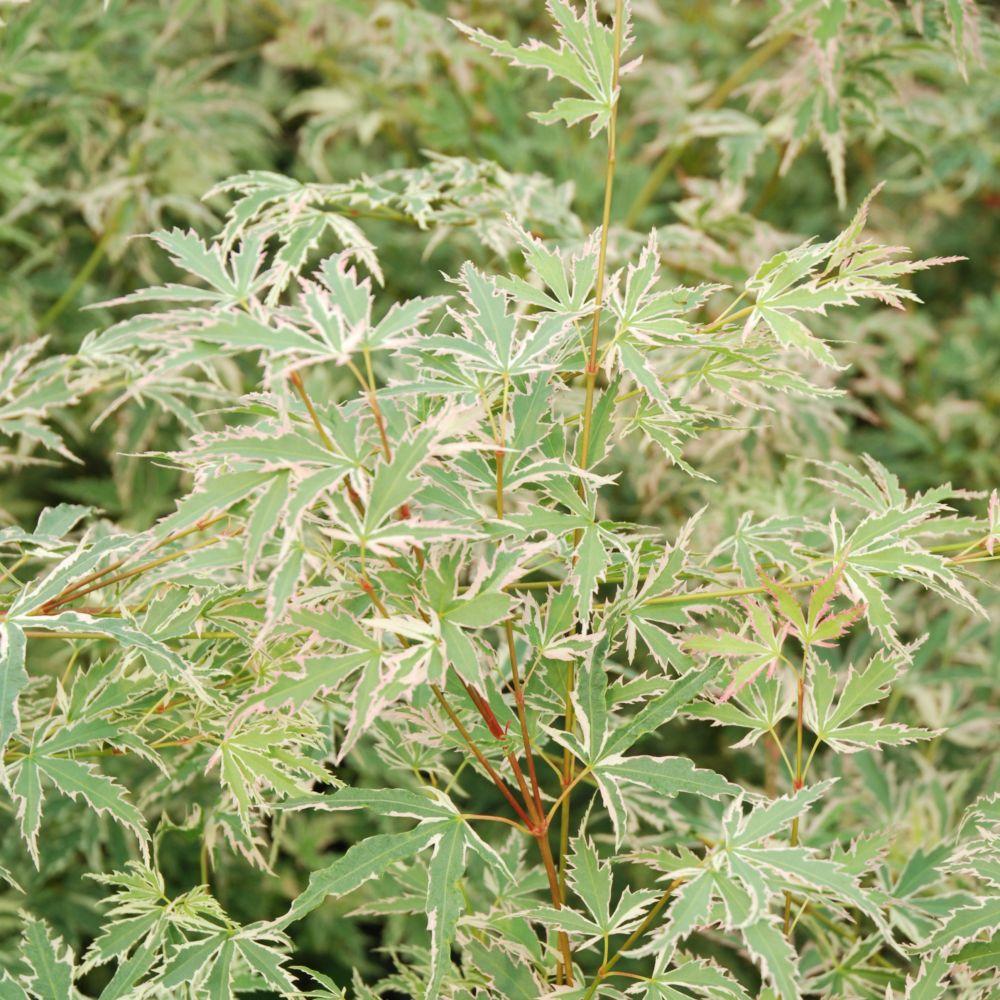 Erable Du Japon Roseo Marginatum Pot De 5 Litres Gamm Vert