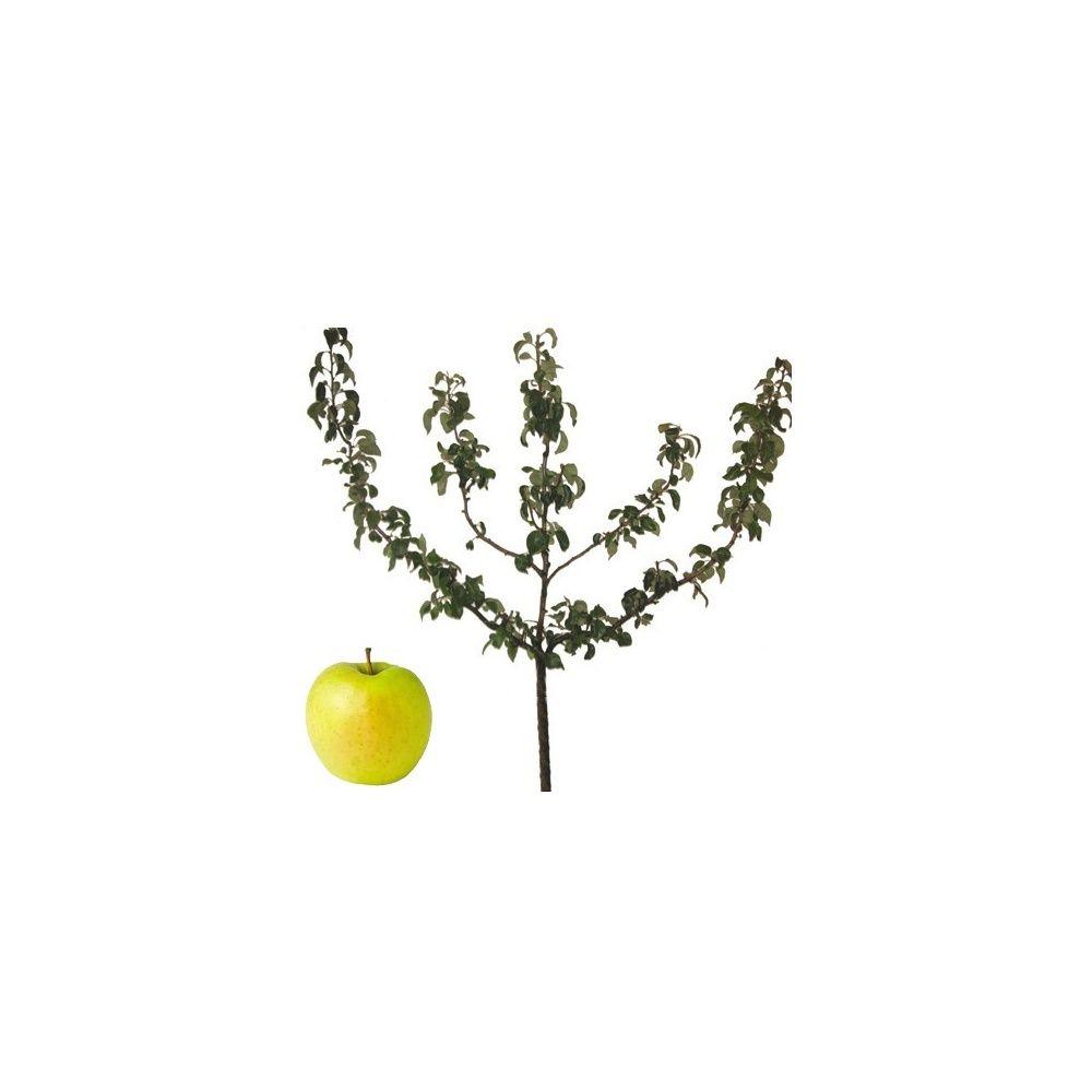 Pommier 'Golden Delicious' : taille en palmette oblique