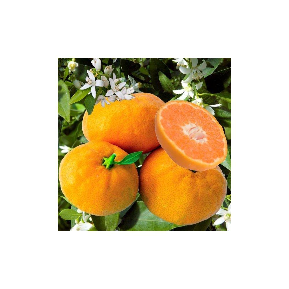 Mandarinier 'Satsuma'