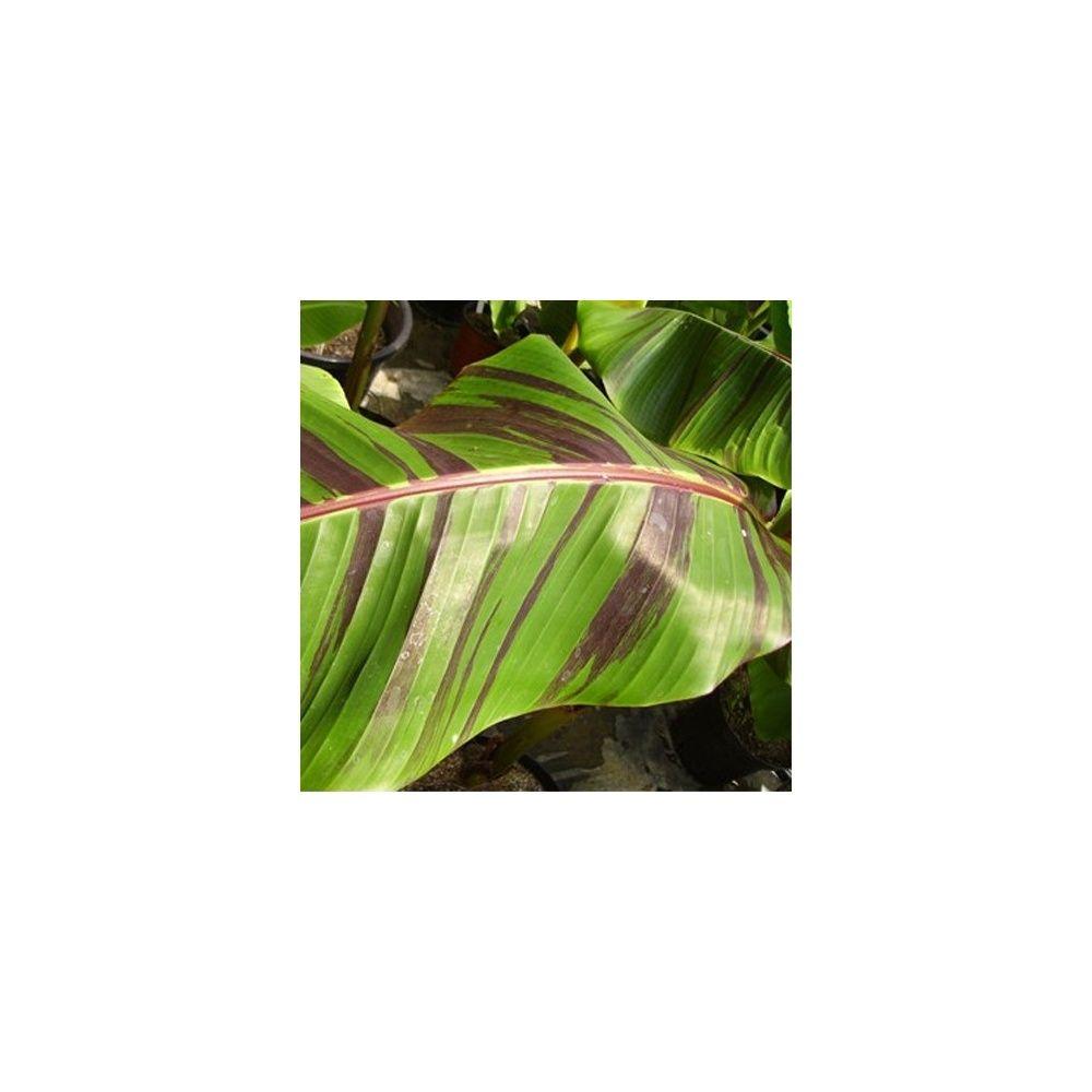 Bananier rustique 'Red Tiger'