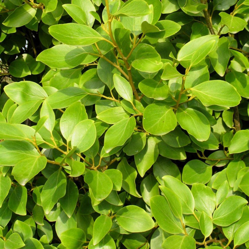 Plante Exterieur Toute Saison Pas Cher griselinia du littoral