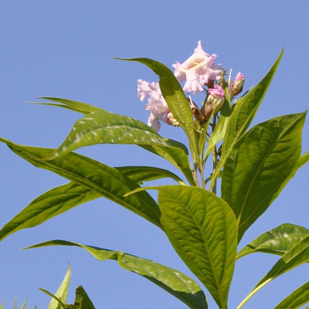 Chitalpa Tashkentensis 'Pink Dawn'