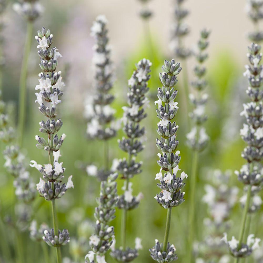 Coloriage Fleur Edelweiss.Lavande Blanche Edelweiss Lavandin Edelweiss Le Lot De 3 Godets