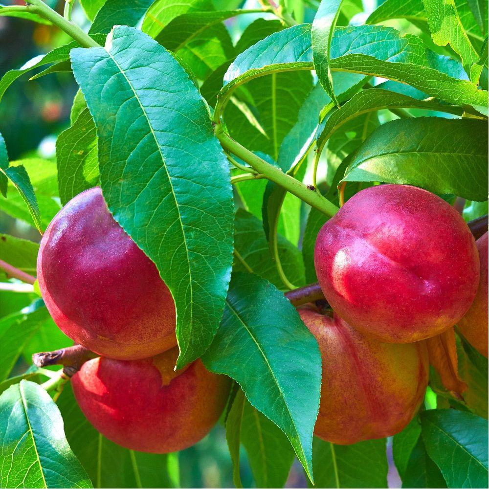 Nectarinier 'Nectarose' : taille en gobelet, en pot