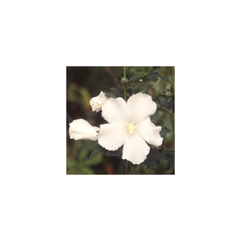 Hibiscus syriacus 'Eleonore'