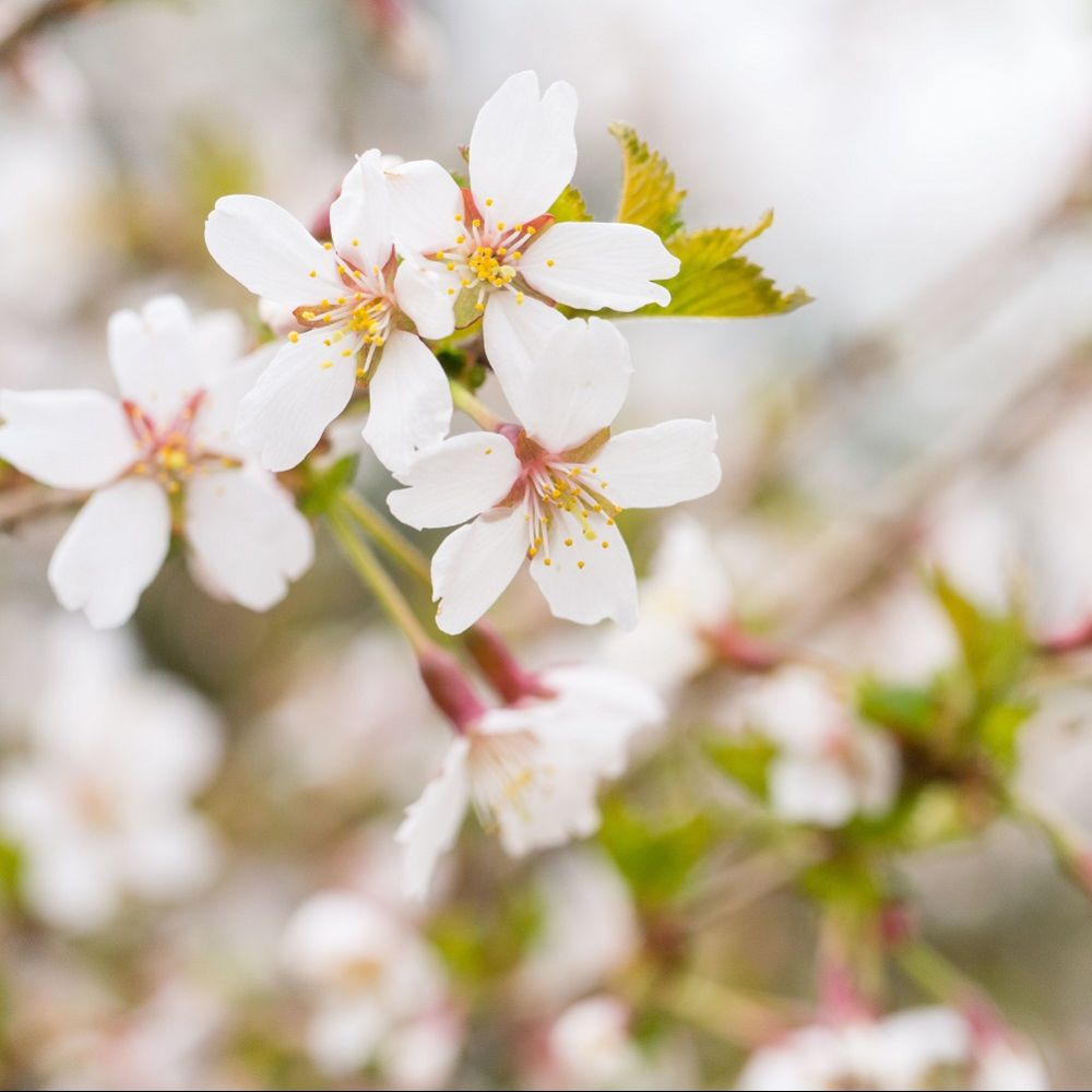 Cerisier à fleurs 'Kojo no Mai' - Cerisier du Japon nain