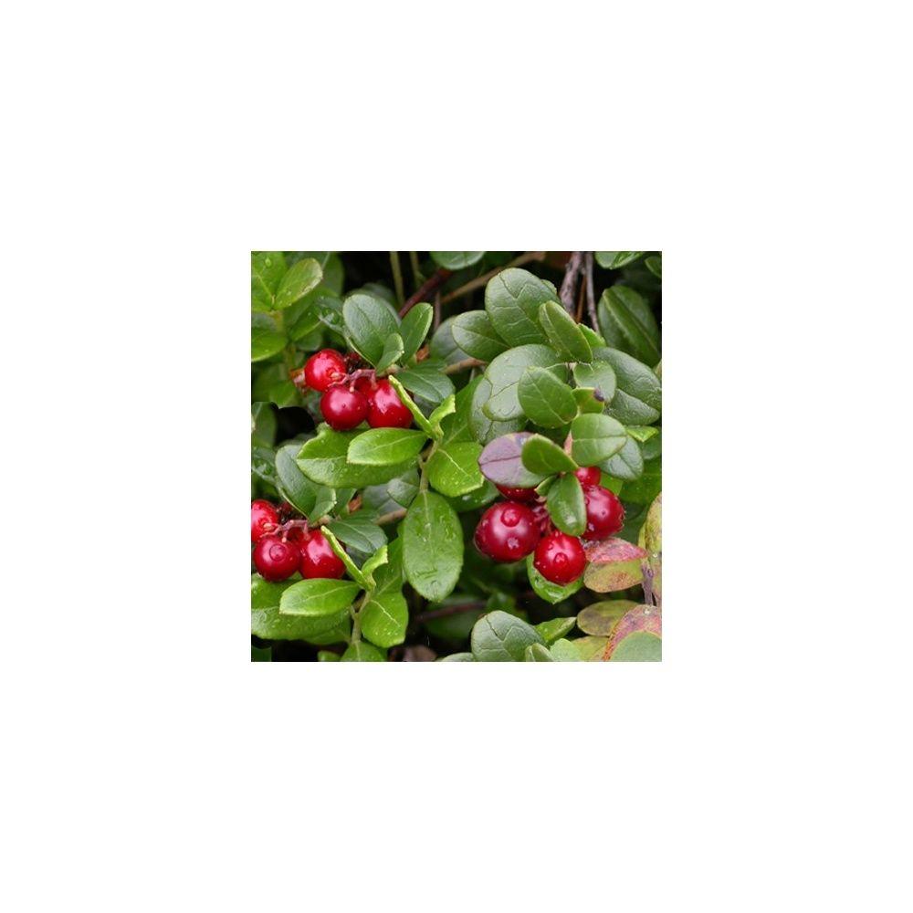 Cranberry, canneberge