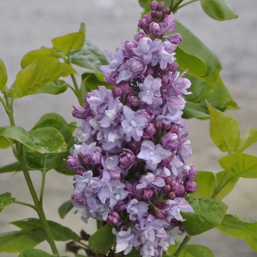 Planter Un Lilas En Pot lilas commun 'michel buchner'