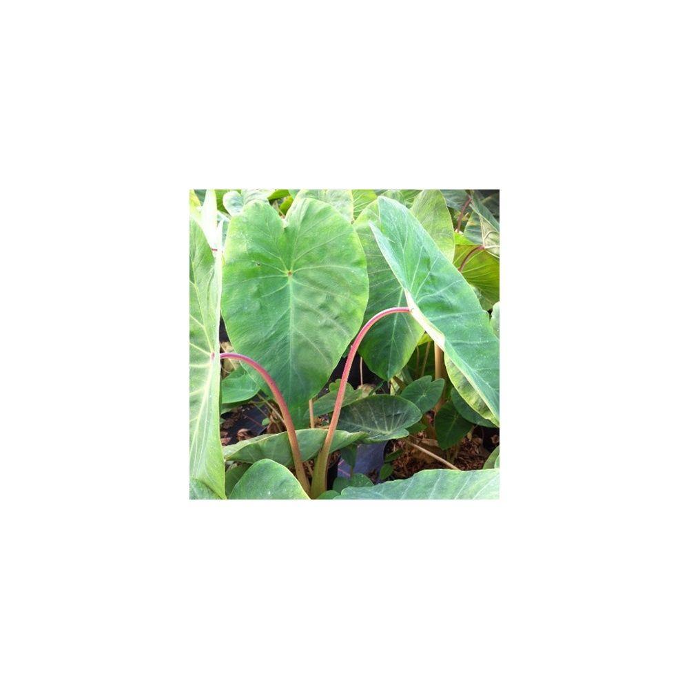 Colocasia 'Pink China'