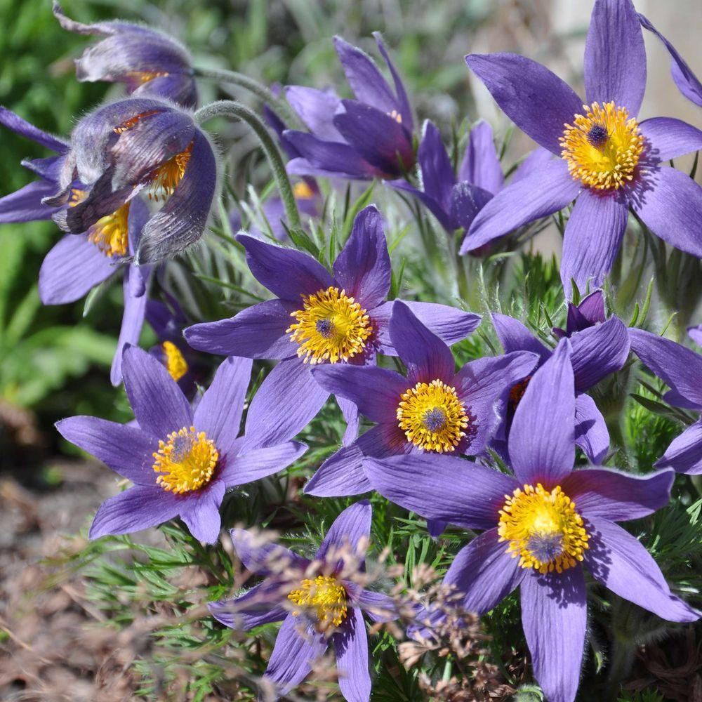 Anemone pulsatille violette