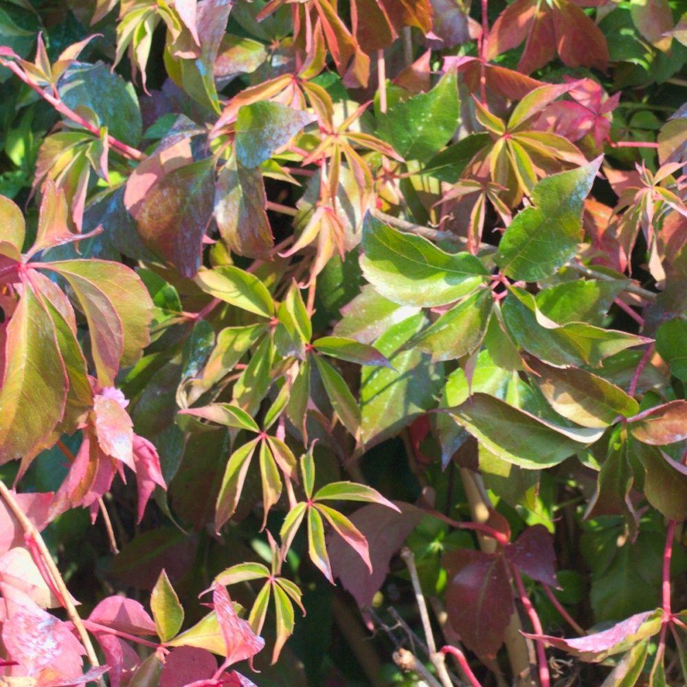 Vigne vierge quinquefolia 'Murorum'