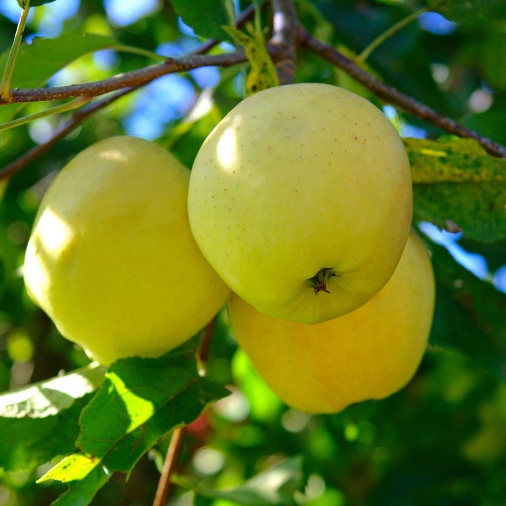 яблоня фото лимонки человеку хочется
