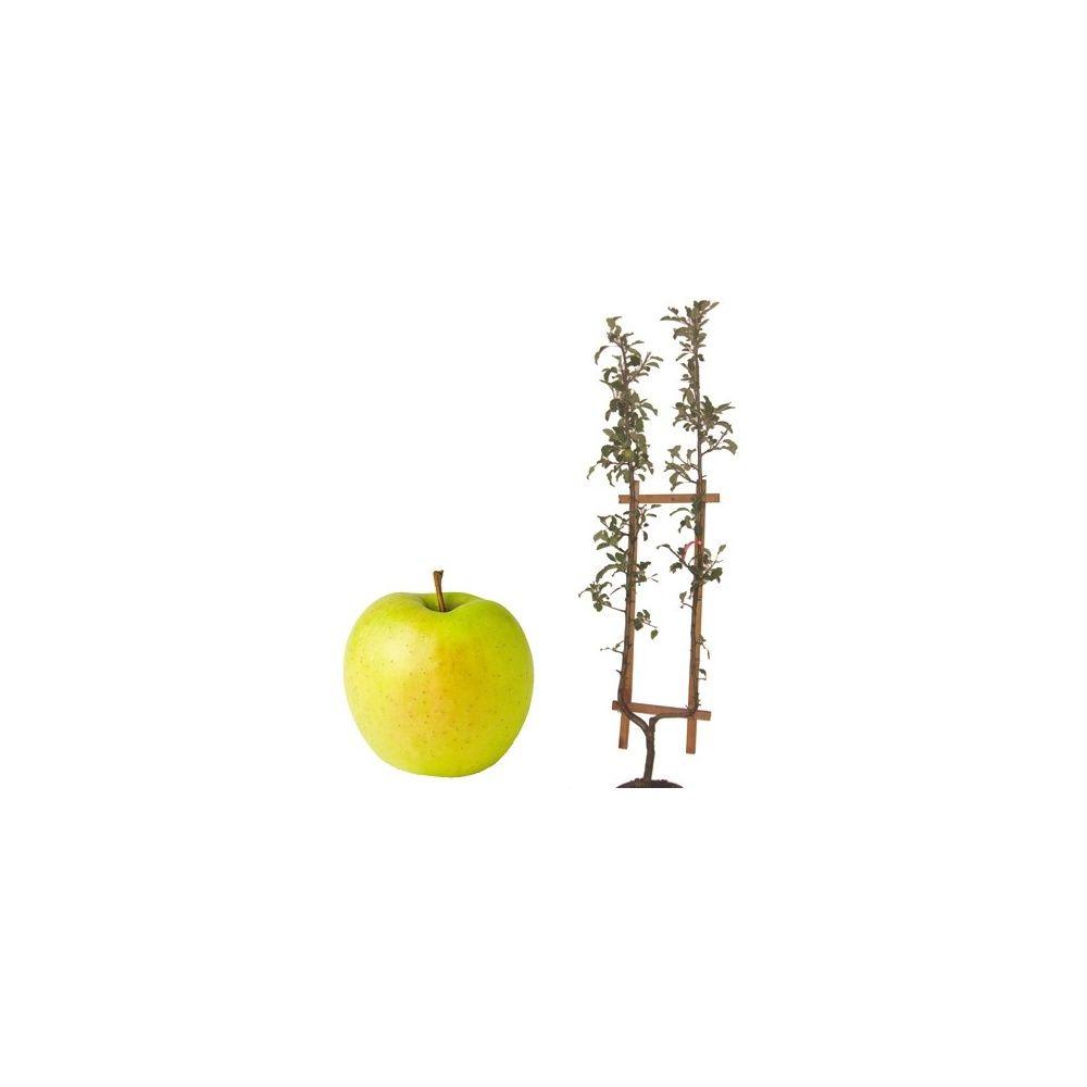 Pommier 'Golden Delicious' : taille en palmette U, en pot