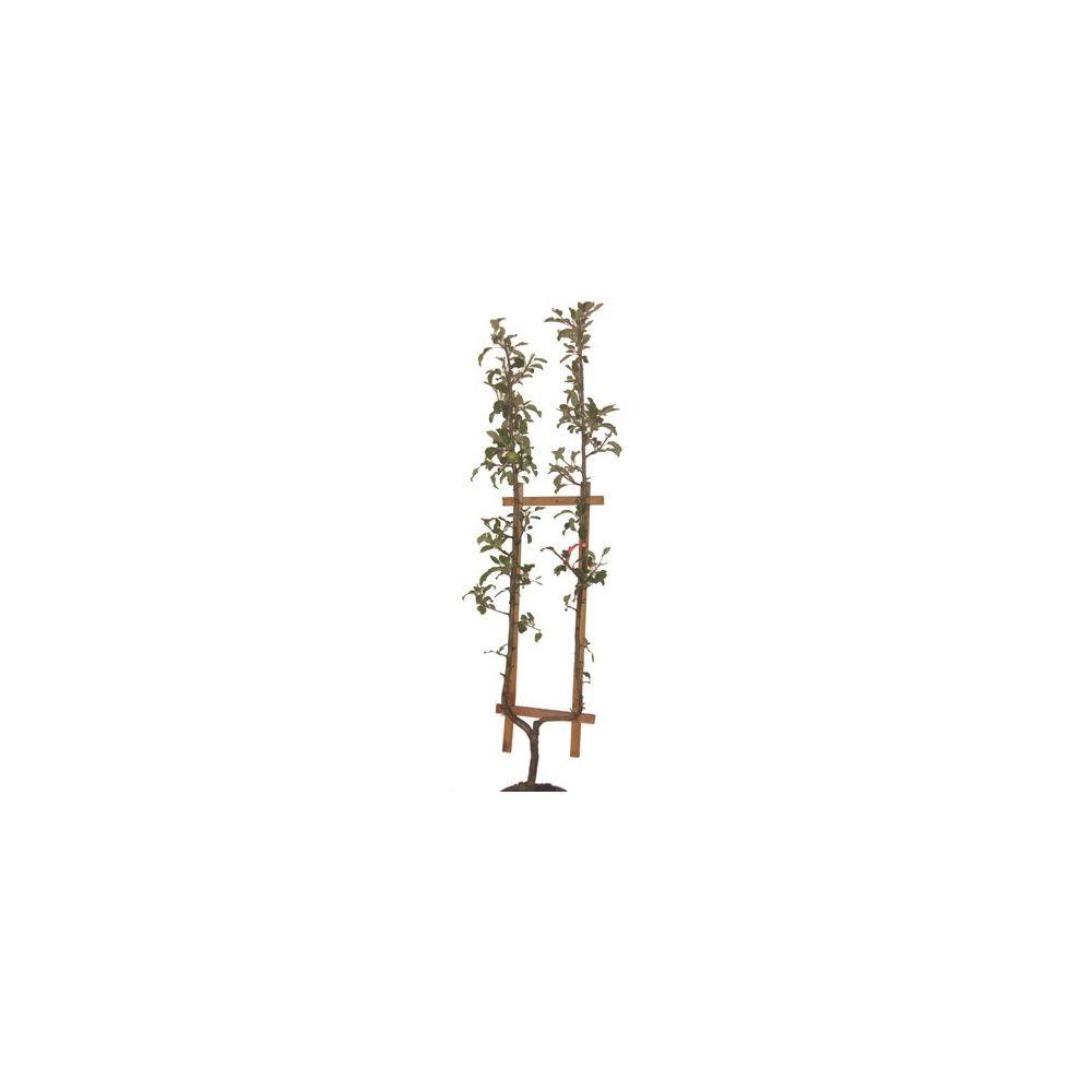 Pommier 'Reinette blanche du Canada' : taille en palmette U, en pot