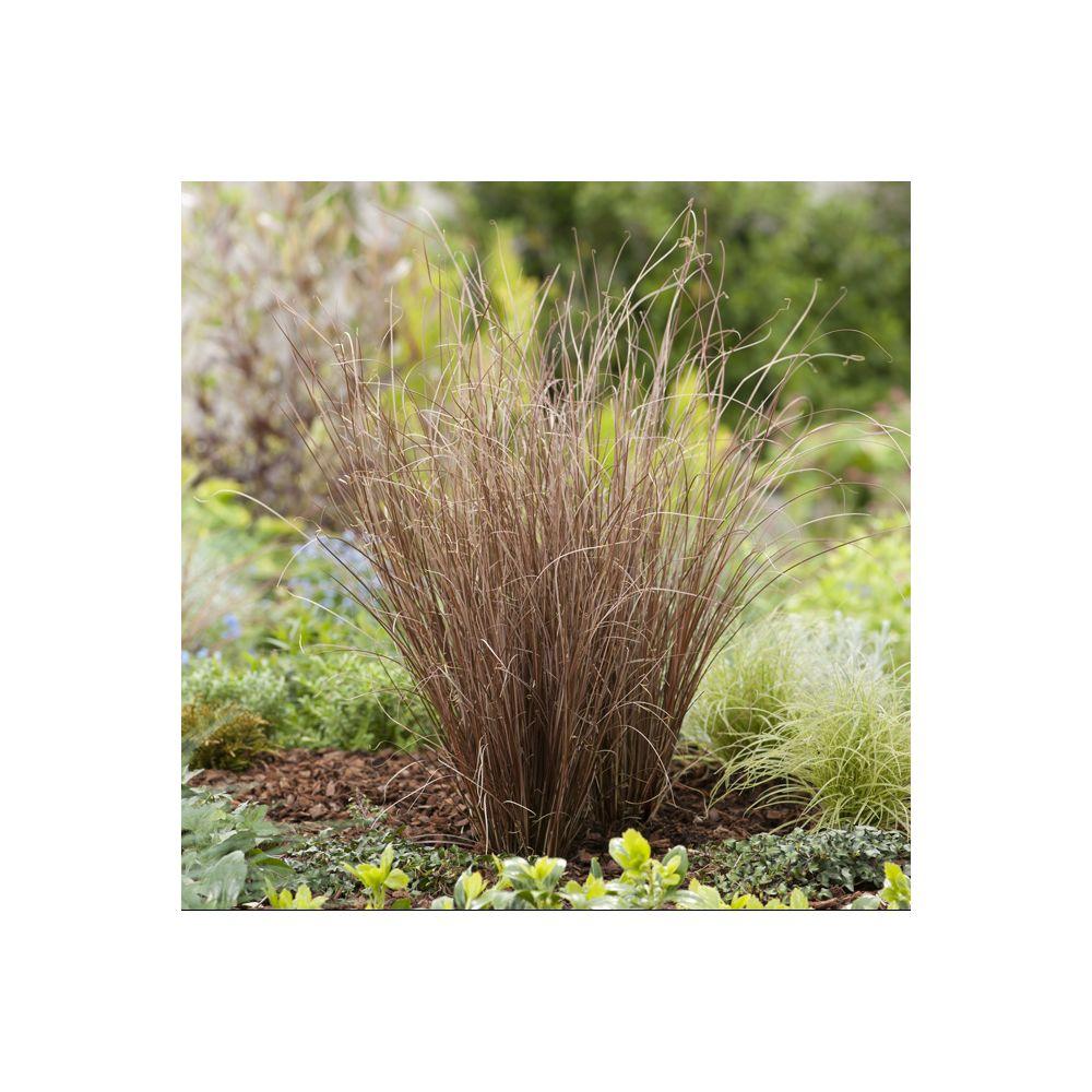 Graminée - Carex buchananii
