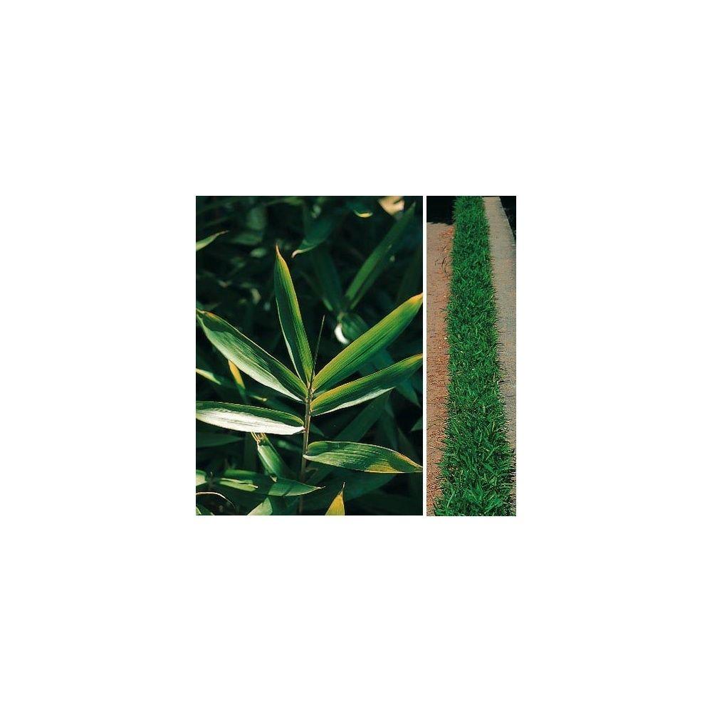Bambou nain : Pleioblastus pumilus
