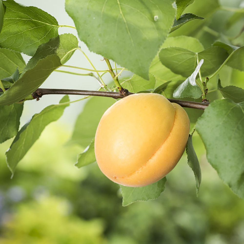 Abricotier 'Bergeron' : taille en gobelet, en pot